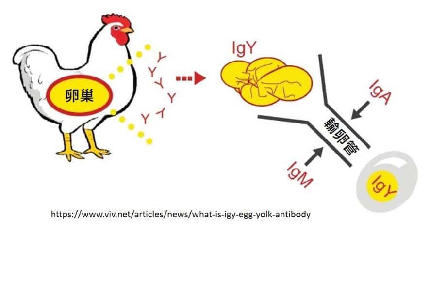 IgY免疫球蛋白體的產生